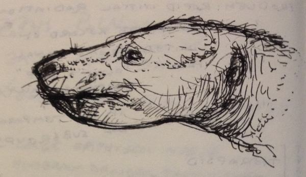 Ink sketch of the head of a therocephalian in left lateral view