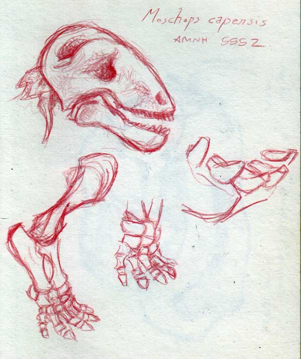 Moschops capensis, AMNH 5552, sketches of skull, forelimb and lower incisors done in red pencil