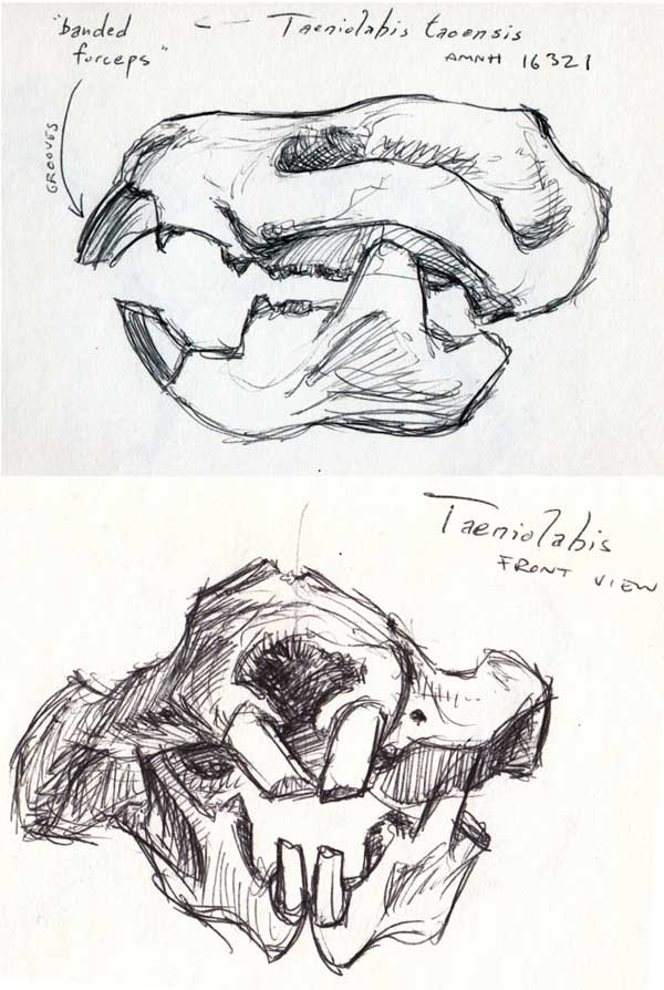 Ball-point pen sketch of AMNH 16321, the skull and jaws of Taeniolabis taosensis